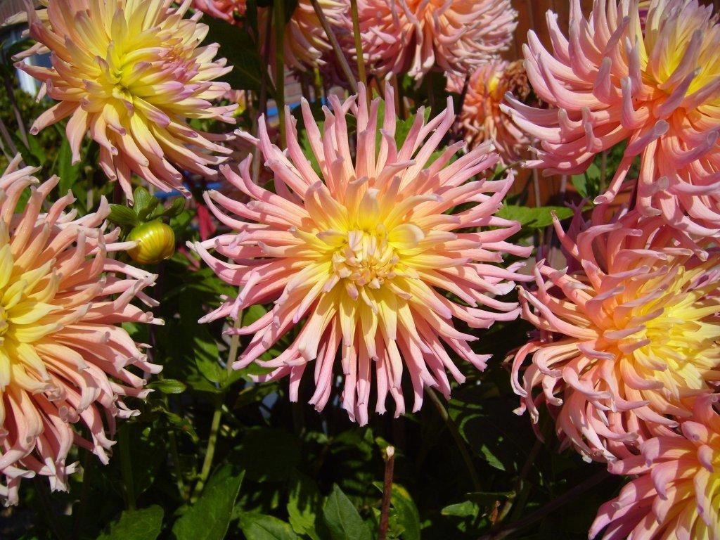 big_pink_garden_flowers